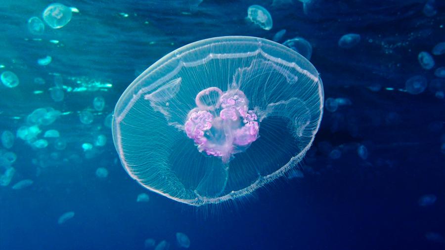 El primer genoma de medusa revela el inicio del complejo plan corporal