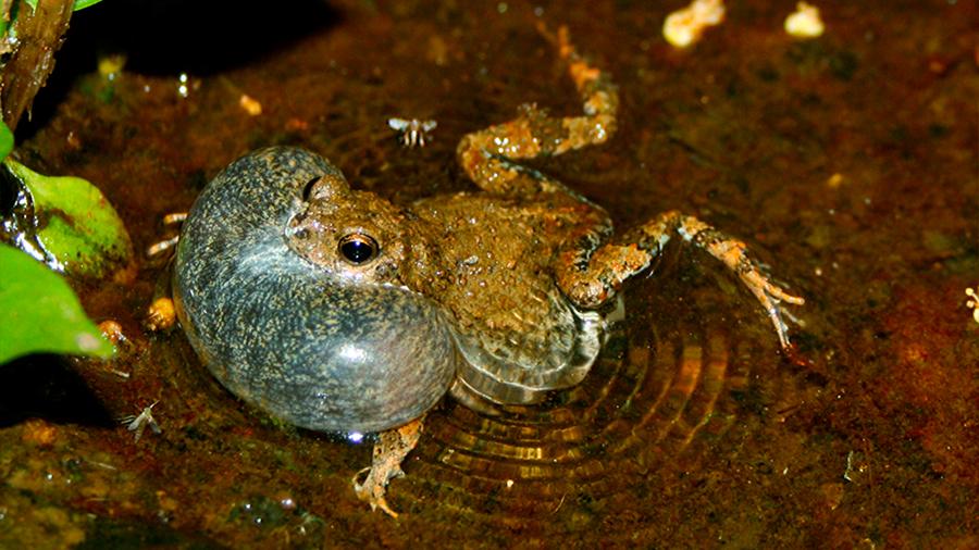 Una especie de anfibio cambia sus rituales de apareamiento en lugares urbanos