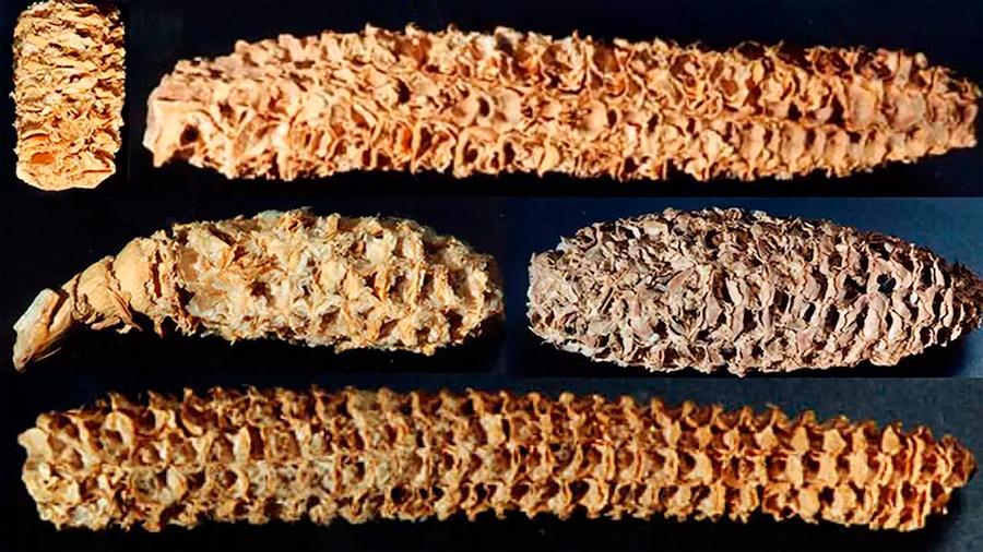 Recuperan un virus de mil años en mazorcas de un enclave arqueológico