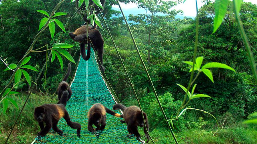 Estudio revela porqué los monos en Costa Rica se están tornando amarillos