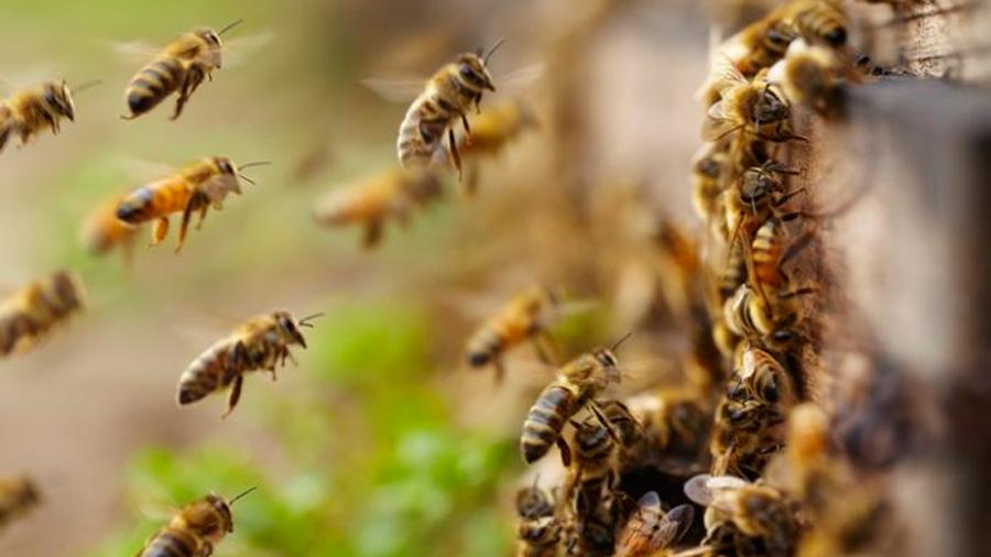 Científicos descubren vacuna para proteger a abejas