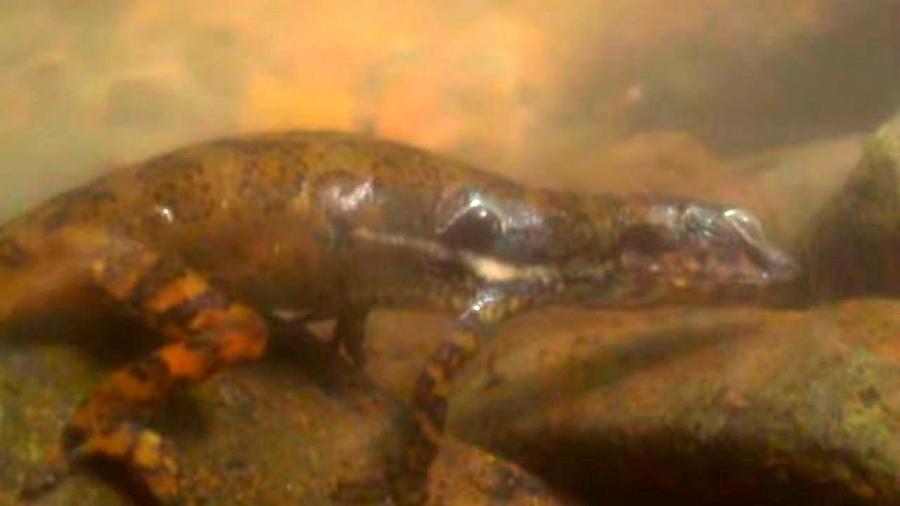 Científicos logran observar cómo un lagarto puede respirar bajo el agua