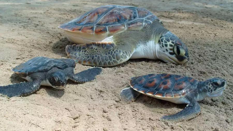 Cada vez hay más tortugas hembra debido al cambio climático