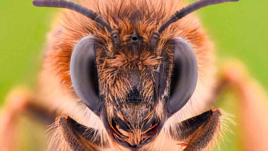 Descubren que las abejas se adaptan a zonas altas mediante cambios en su comportamiento