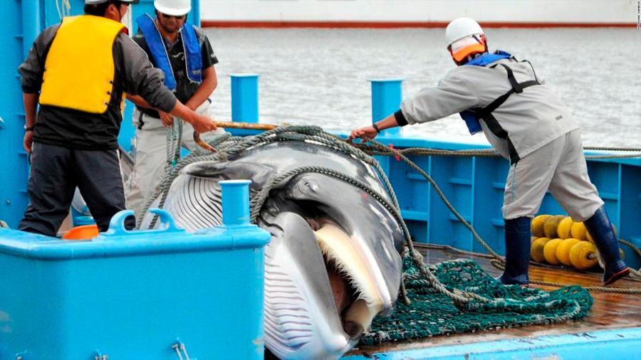 Por qué Japón decidió reanudar caza de ballenas contra la opinión de gran parte del mundo