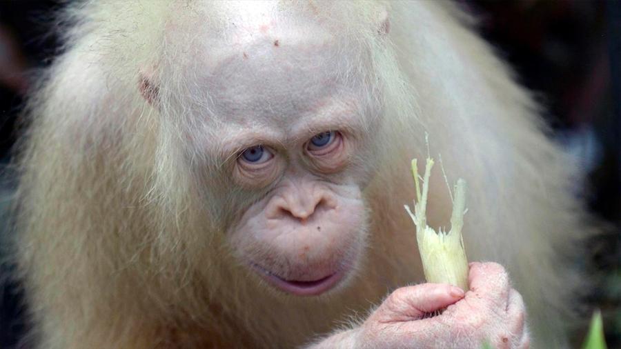 La única orangután albina en el mundo regresó a la naturaleza después de 20 meses de rehabilitación