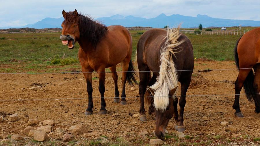 Los notables vikingos se hacían enterrar con caballos sementales