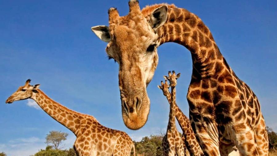 Ballenas, jirafas y gorilas en peligro de extinción se alejan del riesgo de ya no existir