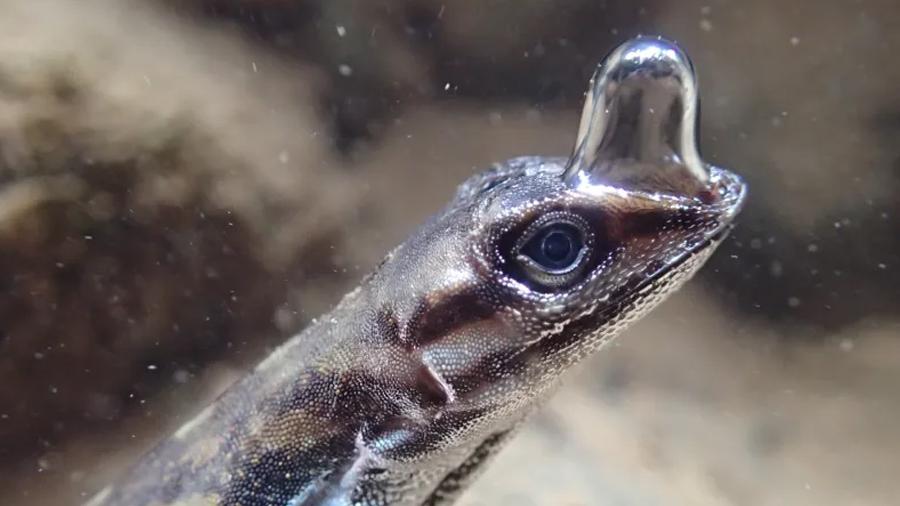 """Insólita lagartija puede """"respirar"""" bajo el agua a través de una burbuja de aire"""