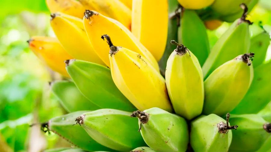 Holanda logró su primera cosecha de banano sin usar tierra