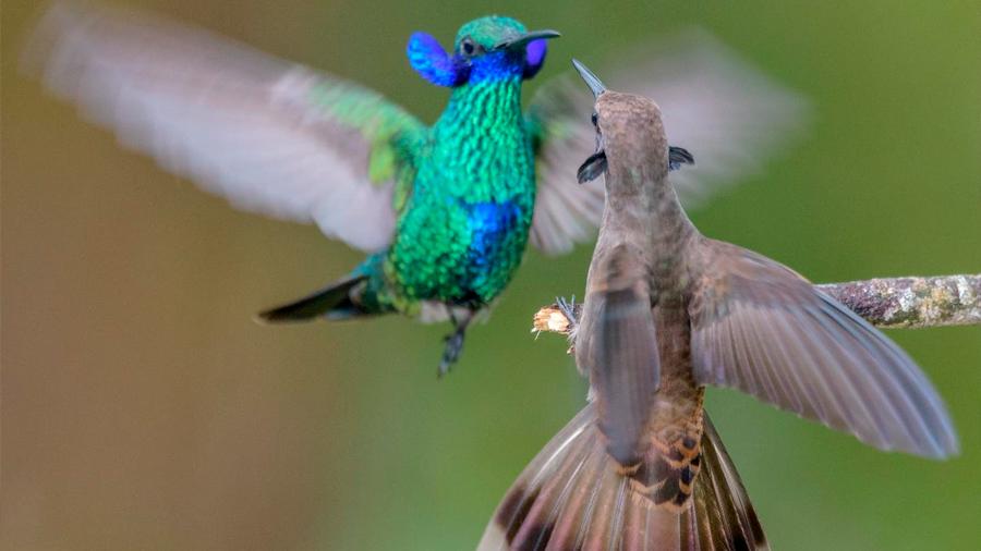 Los colibríes macho prefieren el combate a la comida