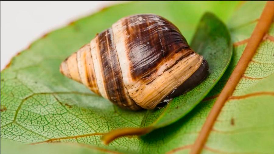 Murió George, el último caracol tropical hawaiano de su especie
