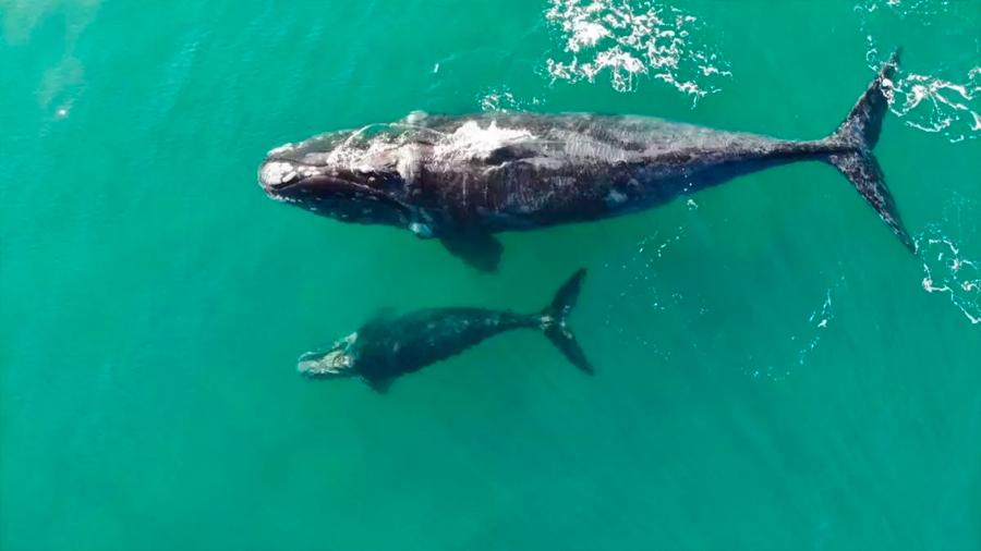 Aún hay esperanza: Científicos ven la primera cría en años de ballena en grave peligro de extinción
