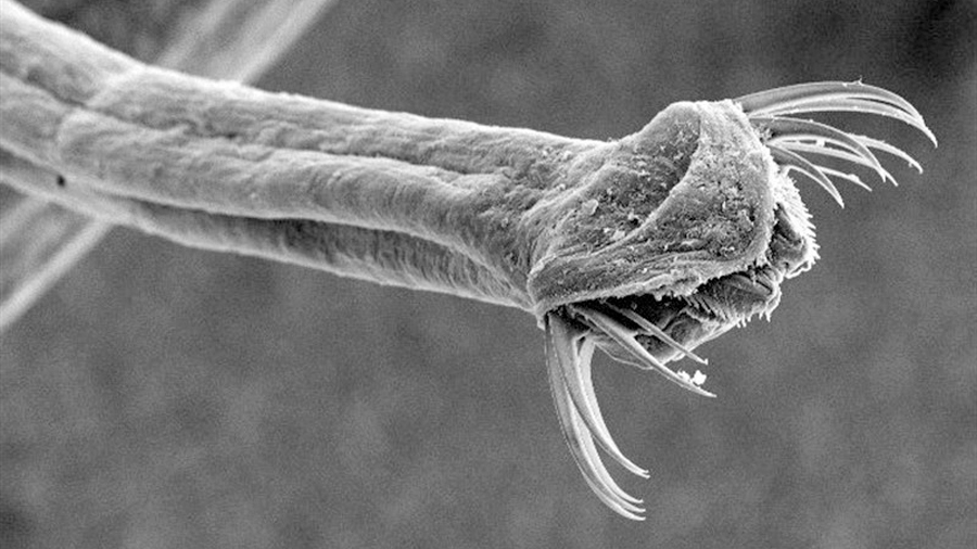 Criaturas de mandíbulas con cerdas reciben sitio en el árbol de la vida