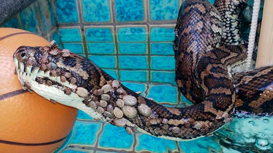 Rescatan una pitón con ¡500 garrapatas! en una piscina de Australia