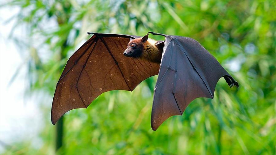 Descubren en murciélagos un nuevo virus con efectos similares al ébola