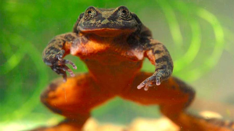 """La """"solitaria"""" rana boliviana Romeo finalmente tendrá una cita para salvar a su especie"""