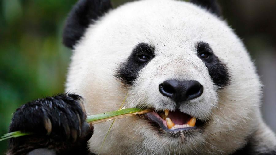 Científicos chinos descubren que esmalte de diente de osos panda se regenera