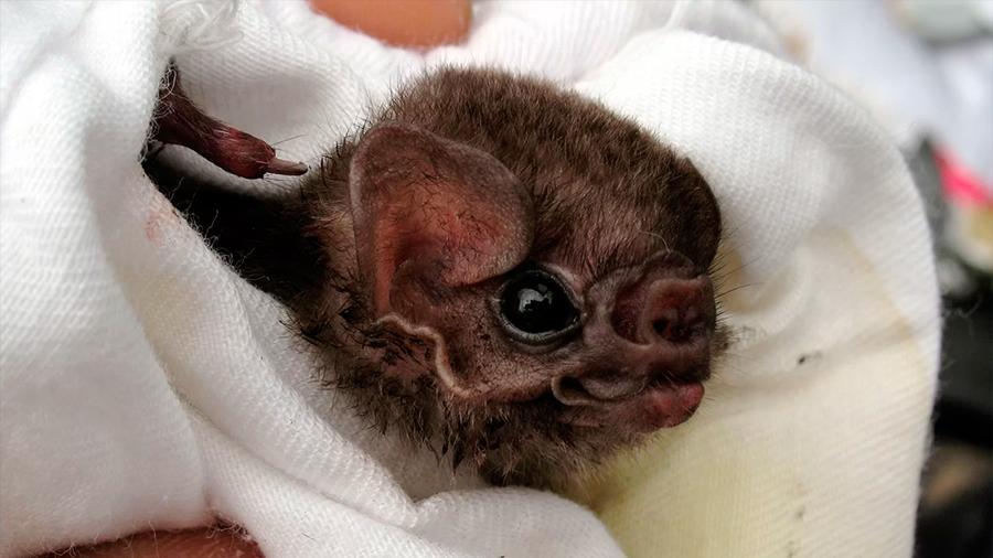 México: narcos obstaculizan investigación australiana sobre veneno de murciélago vampiro