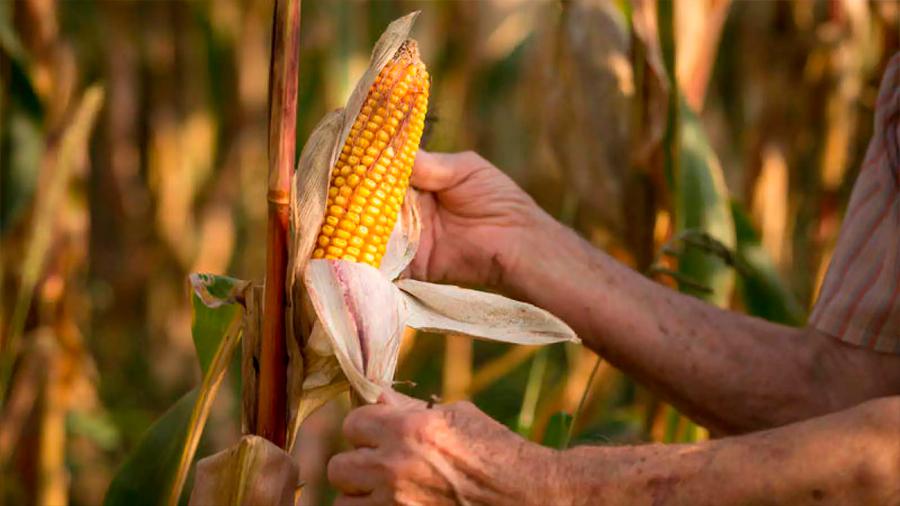 Desvelan secretos del maíz que podrían mejorar la producción de biocombustibles