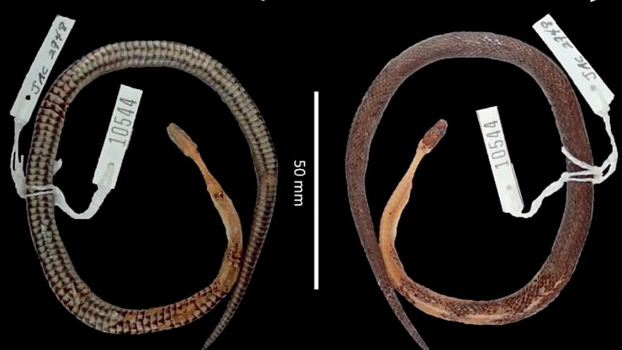 Una nueva especie de serpiente apareció...en el estómago de otra serpiente