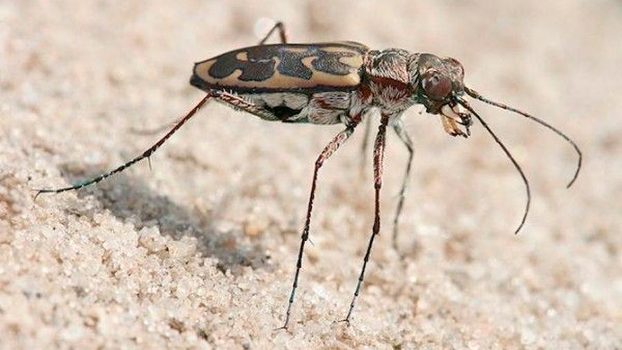 El insecto terrestre más rápido y tiene que reducir velocidad para poder ver bien