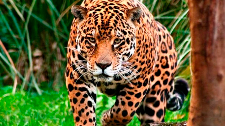 Gigantesco laboratorio natural para devolver el jaguar a Argentina
