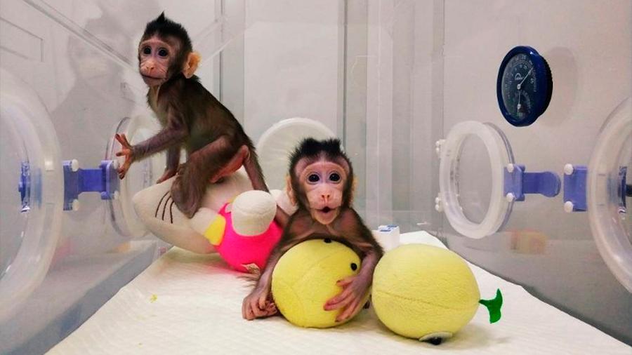 El último experimento con monos clonados en China es un desastre ético