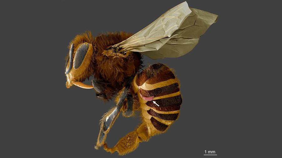 El parásito que aniquila a las abejas se alimenta de su grasa