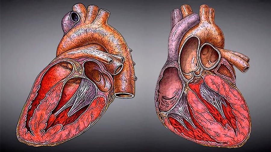 Descubren una proteína con potencial de curar el daño causado por una enfermedad cardiaca