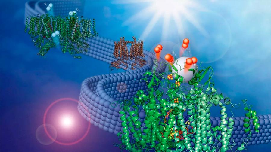 Una membrana natural es adaptada para producir combustible renovable