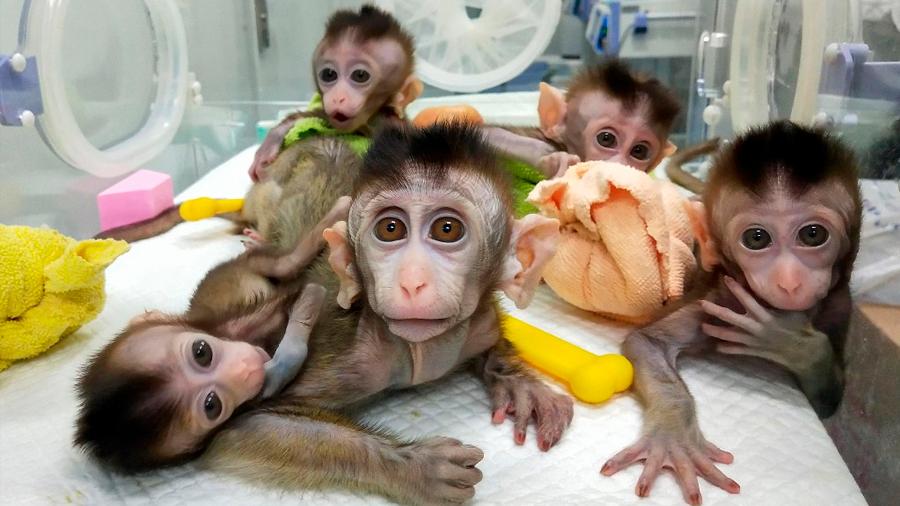 China clona a monos genéticamente modificados para estudios del sueño