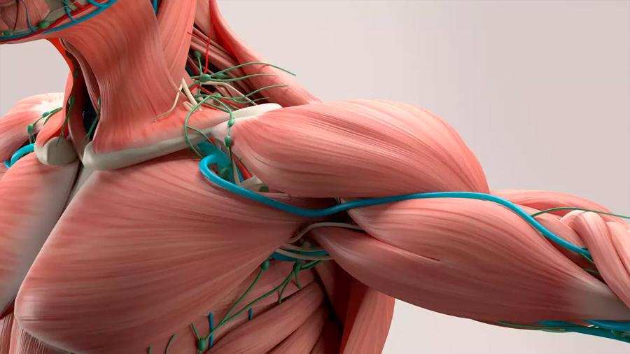 """Descubren que los músculos pueden """"recordar"""" el ejercicio realizado en la juventud"""