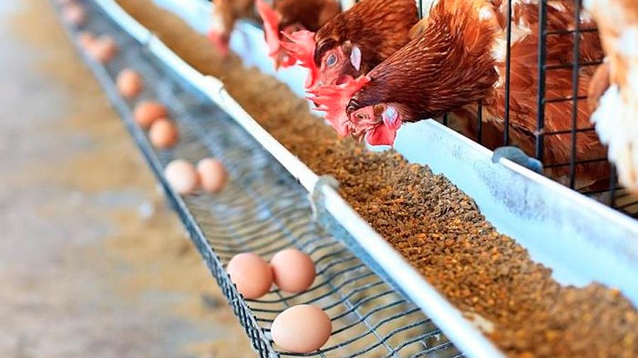 Modifican genéticamente a gallinas y ponen huevos con medicamentos que sirven para combatir el cáncer