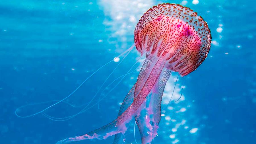 A partir de medusas, investigadores mexicanos desarrollan membrana que regenera la piel humana
