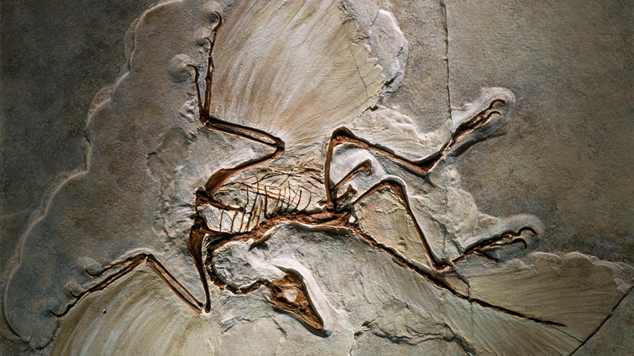 Fósiles de plumas permiten acotar el origen del vuelo