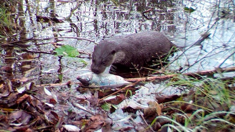 La vida silvestre es abundante en el área prohibida de Chernobyl