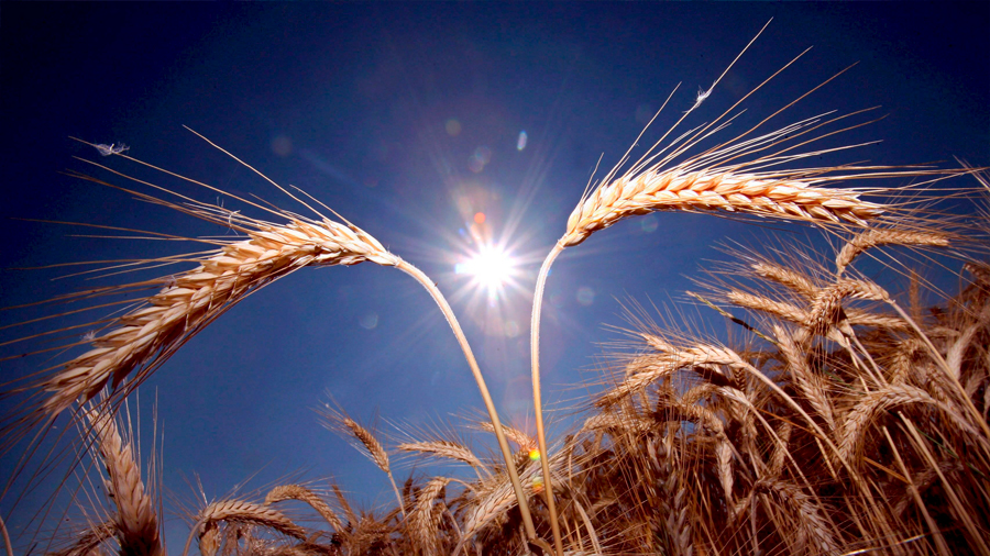 Descritos los genes del trigo que se activan como respuesta a la sequía