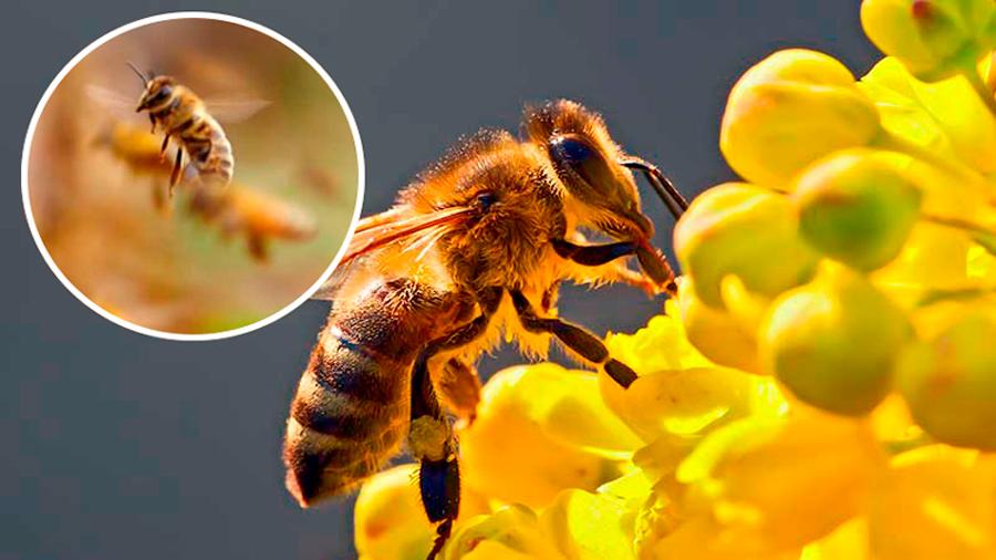 ¿No más miel? Científicos descubren un pequeño asesino de abejas