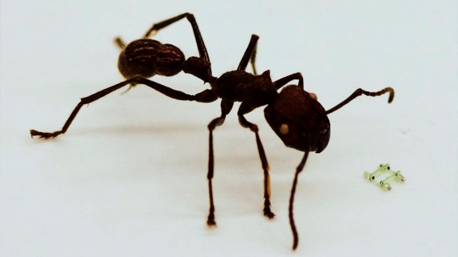Así se mueve el robot más pequeño del mundo: menor a la cabeza de una hormiga