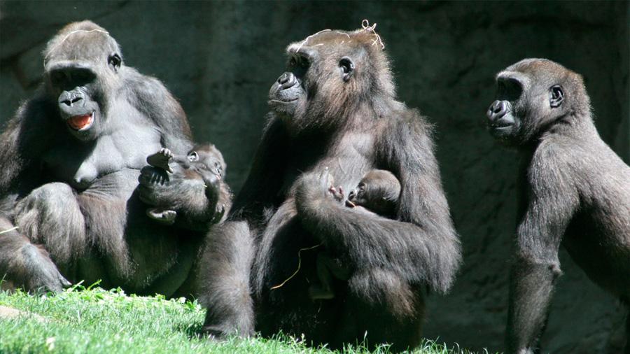 Los gorilas de llanura son tolerantes y hasta cambian de familia