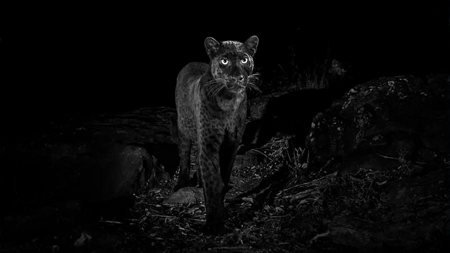 Logran la primera fotografía profesional de un leopardo negro en África en los últimos 100 años