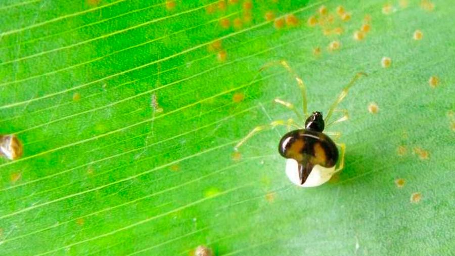 Descubren dos especies de arañas que viven en armonía en grandes colonias