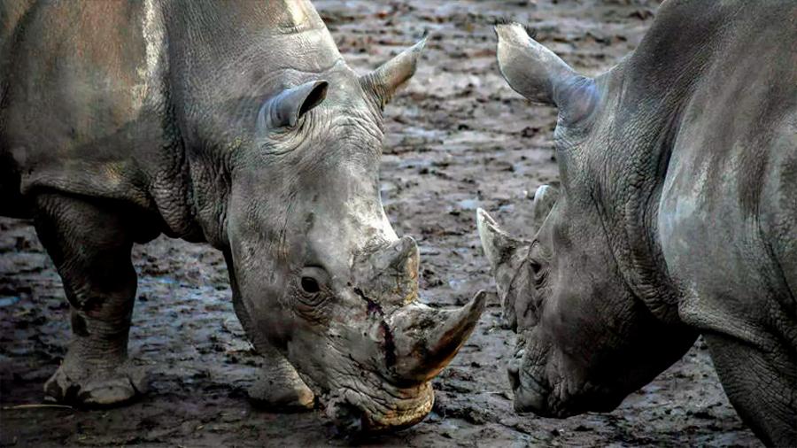 Sudáfrica logra reducir un 25% las muertes de rinocerontes por caza furtiva