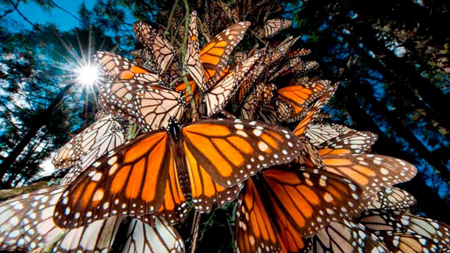 Mariposas monarca encuentran otro 'hogar' en México: hallan nueva colonia en una entidad contigua