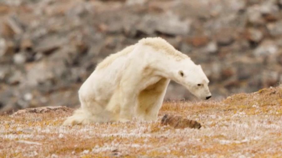 De blanco a pardo, el futuro del oso polar por el calentamiento global