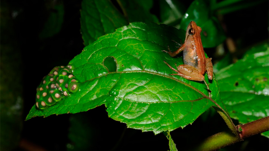 Cientifíco mexicano participa en descubrimiento de nueva especie de rana en Etiopía