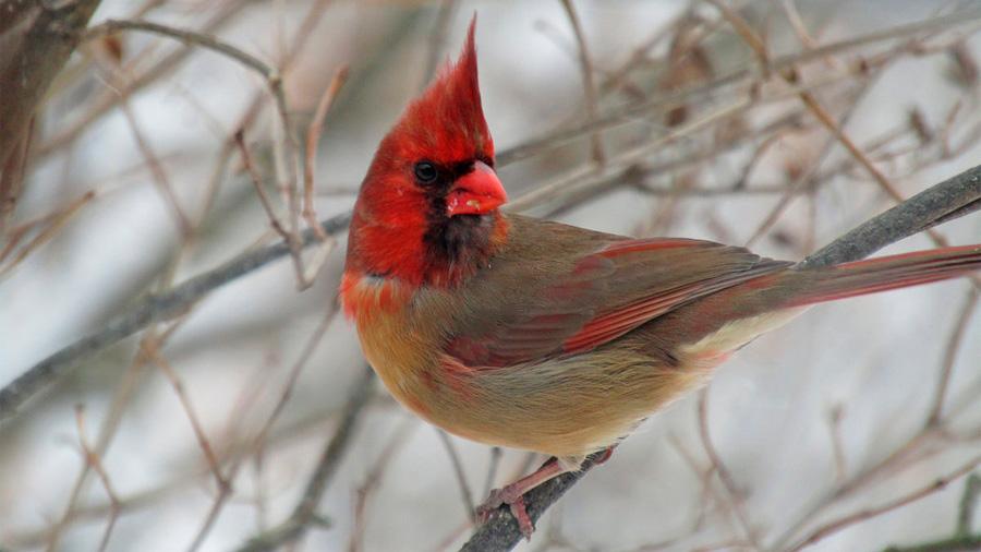 Hallan cardenal excepcional que es mitad macho, mitad hembra