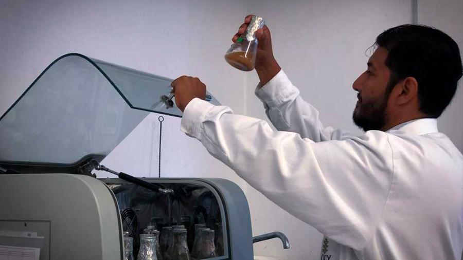 Científicos mexicanos logran desarrollar combustible a partir del árbol de ramón