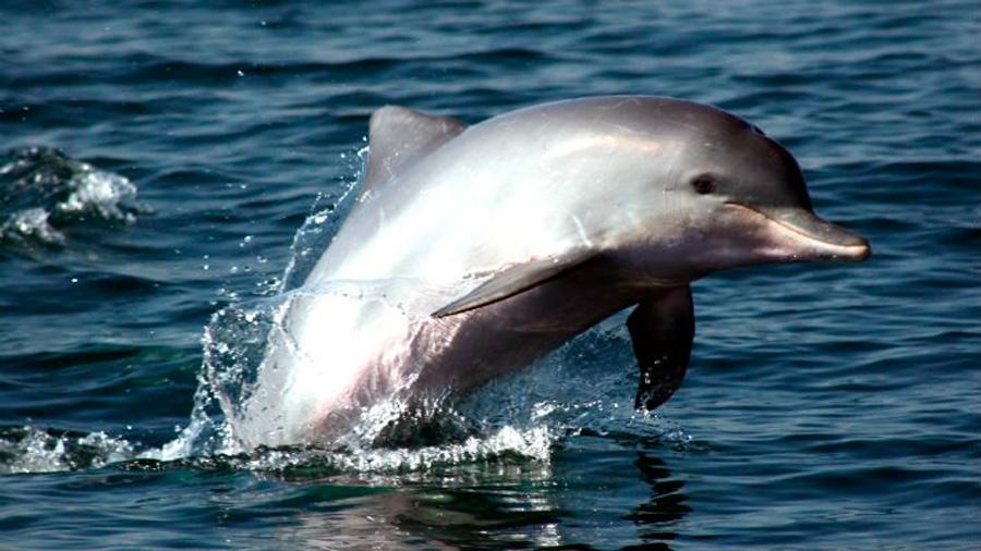 Nadar volando: documental revela cómo los delfines se aprovechan de otros animales para drogarse con toxinas